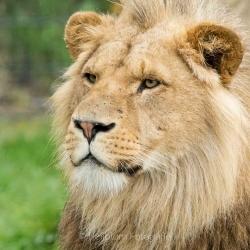 HEIJBLOM FOTOGRAFIE-Vrij-werk-leeuw