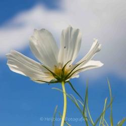 HEIJBLOM FOTOGRAFIE-Vrij-werk-witte-bloem