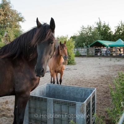 HEIJBLOM FOTOGRAFIE-twee-paarden-in-de-bak-op-de-Peerdegaerdt-Strijen